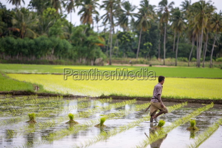 a paddy farmer at work in
