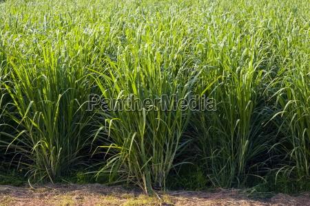 zuckerrohr koppel suesswasser verbindung australien