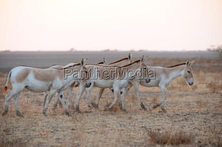 wildesel die wild ass sanctuary gujarat