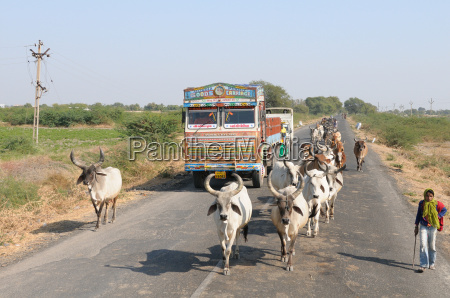 cows blocking the highway traffic in