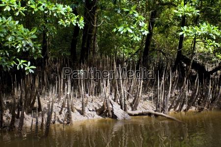 mangrove triebe wachsen in den untiefen