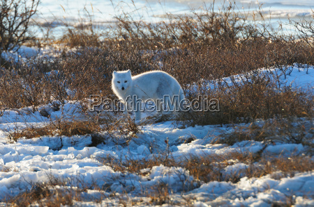 polarfuchs auf eis wapusk nationalpark manitoba