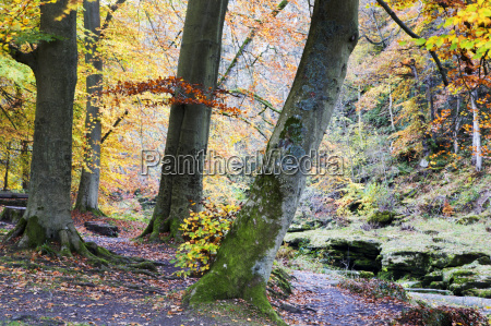 autumn trees by the strid in