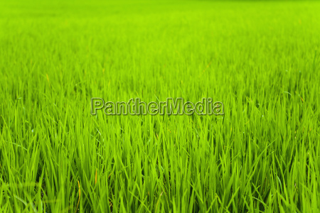 rice paddy field close up in