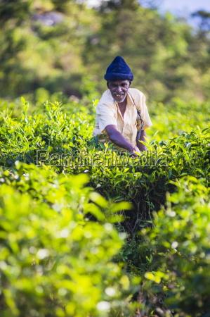 ceylon tea plantation a tea picker