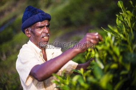 a male tea picker picking tea