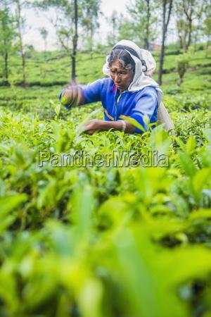 tea picker plucking tea in a
