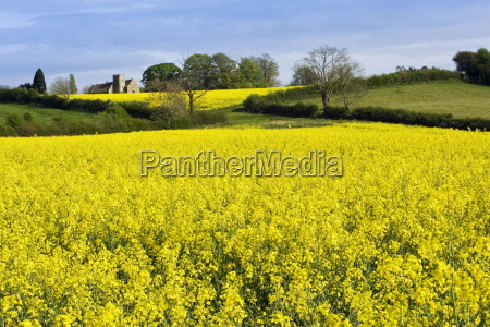 rape seed crop field in wyck