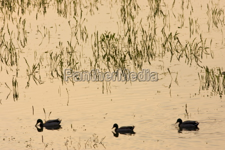 ducks in flooded meadow oxfordshire the