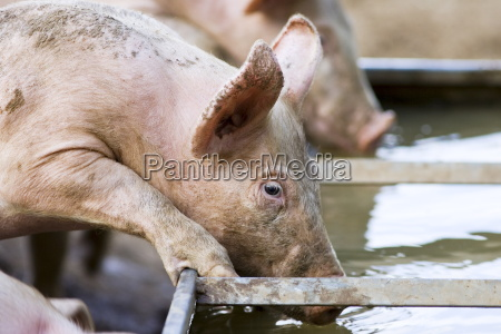 gloucester old spot pig drinks from