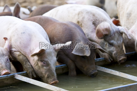 gloucester old spot schweine trinken aus