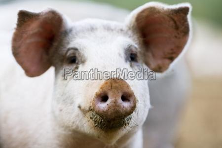 gloucester old spot pig gloucestershire united