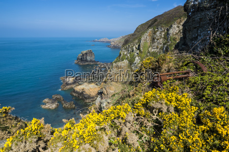 blooming gorse over the east coast