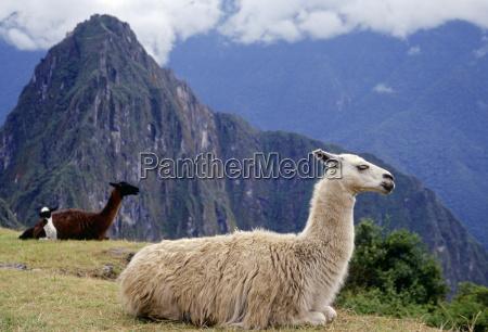 llamas rest by machu picchu ruins