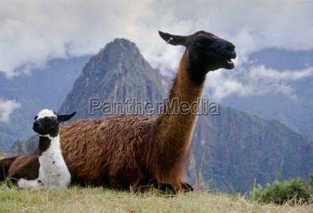 llama dam her cria by