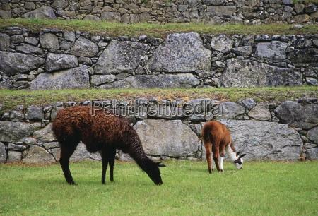 llamas graze by machu picchu ruins