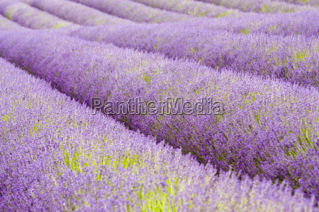 snowshill lavender field worcestershire united kingdom