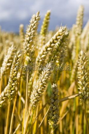 wheat field in marlborough downs wiltshire
