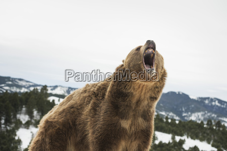 brown bear grizzly ursus arctos montana