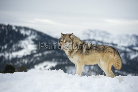 grey wolf timber wolf canis lupis