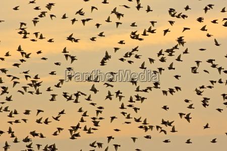 migratory starlings at thames estuary
