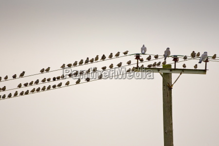 migratory starlings and wood pigeons at