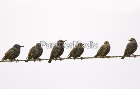 migratory starlings on telephone wires at