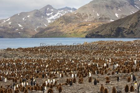 king penguin aptenodytes patagonicus colony st