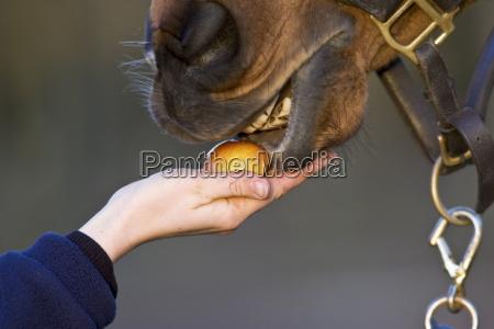 pferd das mit einem apfel oxfordshire