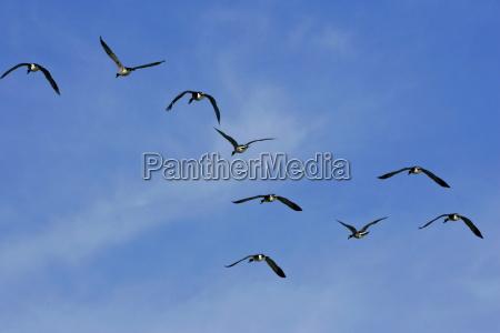 geese flying over washington dc usa