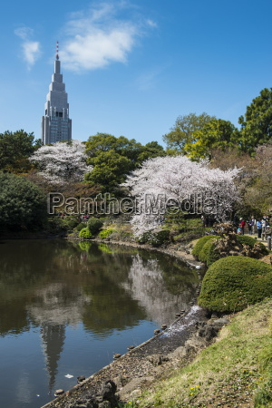 cherry blossom in the shinjuku gyoen