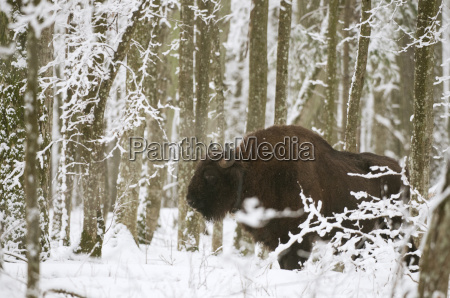 european bison bison bonasus bull with