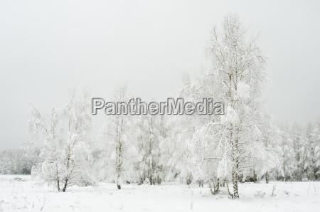 silver birch betula pendual tree growing
