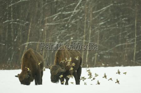 european bison bison bonasus bull standing