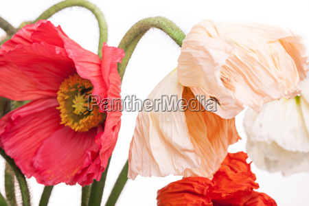 daisy and poppy flowers bouquet