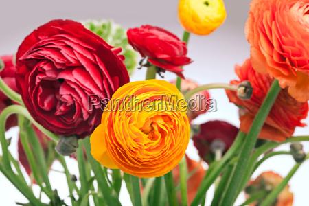 ranunkulyus bouquet of red flowers on
