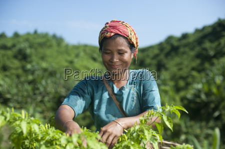 a marma woman collecting chillies chittagong