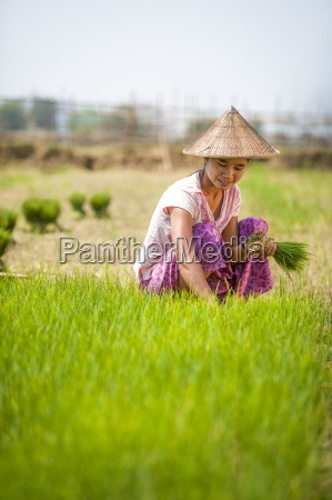 a woman harvests young rice into