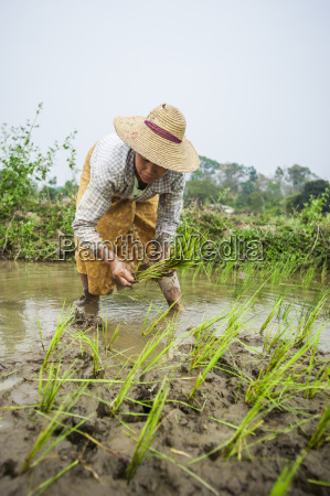 a woman plants rice in paddies
