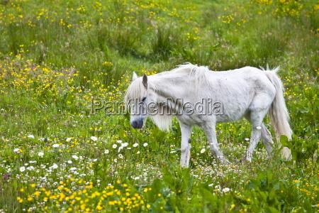 unterernaehrte duenne und boney connemara pony