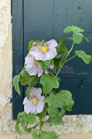 traditional lavatera flowering shrub at st