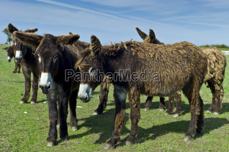 donkeys shedding their winter coats in