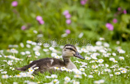 mallard duckling among daisies in meadow