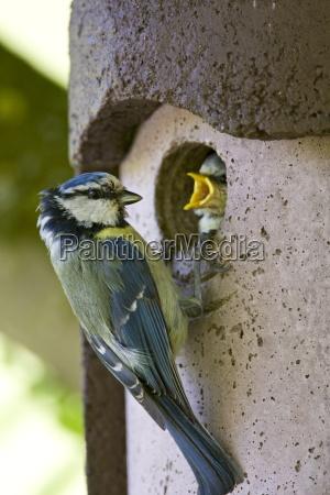 bluetit bird feeding hungry young nestling