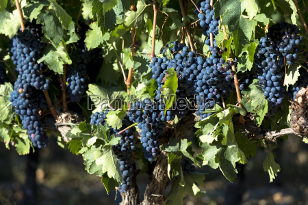 tempranilla black grapes for rioja red