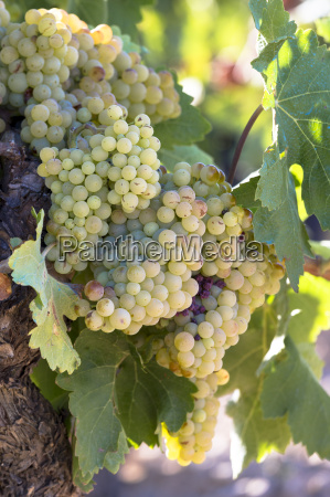 viura green grapes for rioja white