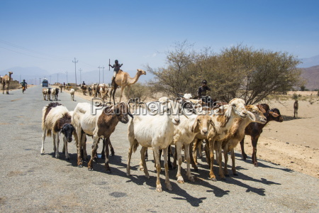 herds of animals walking in the