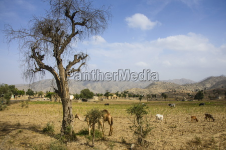 camels grazing along the road from