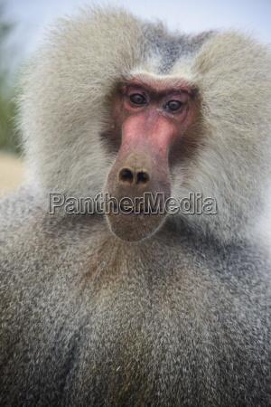 hamadryas baboon papio hamadryas along the