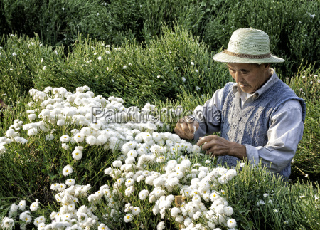 asian man harvesting white chrysanthemums in